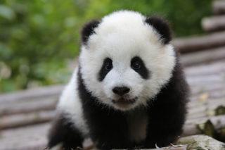 маленькая панда в зоопарке